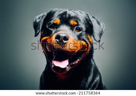 Portrait of a dog - rottweiler  - stock photo
