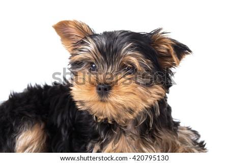 Portrait of a dog's face Yorkshire terrier closeup - stock photo