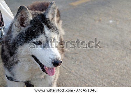 portrait of a dog, Siberian Husky