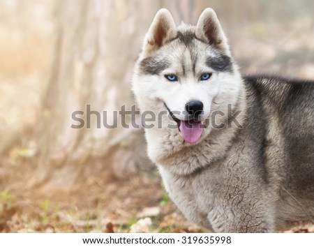 portrait of a dog, Siberian Husky with blue eyes in the woods on a cold autumn fallen brown leaves.
