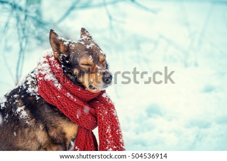 Portrait of a dog with knitted scarf tied around the neck walking in blizzard in the forest