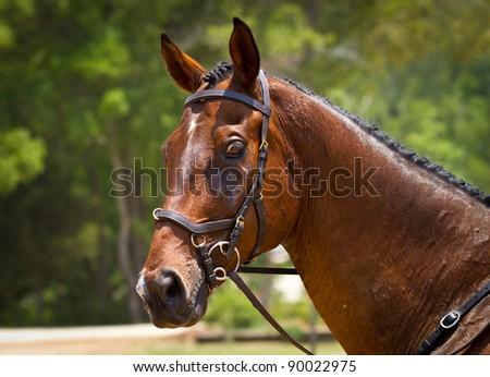 Portrait of a dressage horse - stock photo