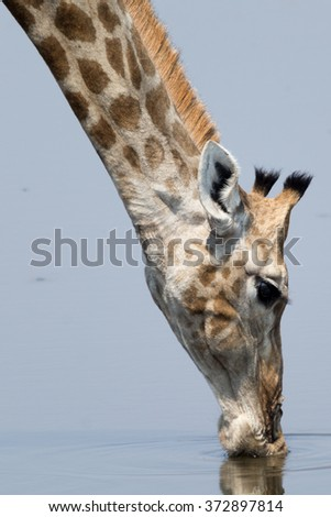 Portrait of a drinking Giraffe at natural waterhole in Etosha National Park, Namibia, Africa. - stock photo