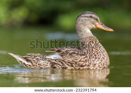 Portrait of a duck with reflection in green water - stock photo