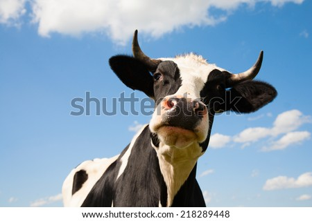 Portrait of a Dutch cow
