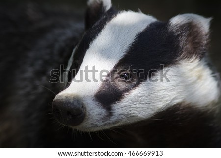 Portrait of a European Badger (Meles meles).