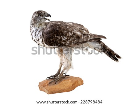 Portrait of a falcon or bird isolated on white background