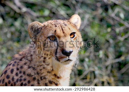 Portrait of a female cheetah in the sunlight - stock photo