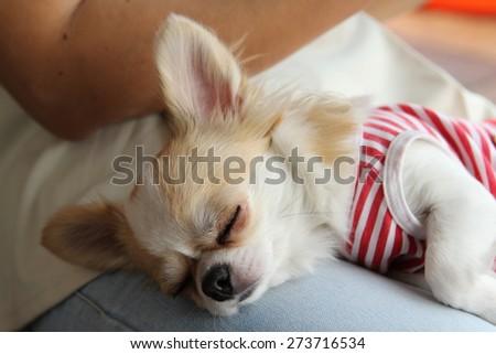 Portrait of a female Chihuahua dog. - stock photo