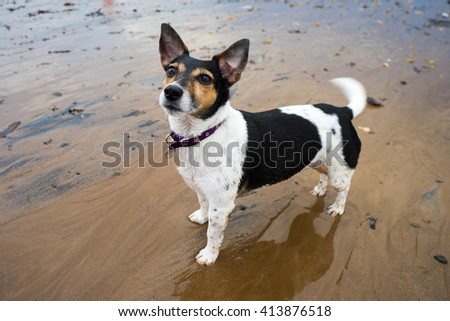 Portrait of a female Jack Russell Terrier posing on the beach. - stock photo