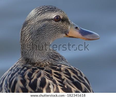 Portrait of a female Mallard (Anas platyrhynchos). - stock photo