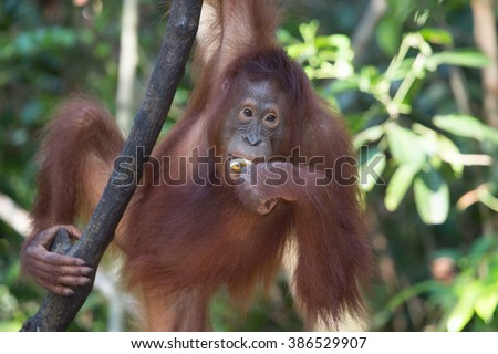 Portrait of a female orangutan in the wild. Indonesia. The island of Kalimantan (Borneo). An excellent illustration from close.
