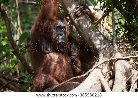 Portrait of a female orangutan with a baby in the wild. Indonesia. The island of Kalimantan (Borneo). An excellent illustration.