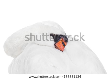 Portrait of a female white swan - isolated  - stock photo
