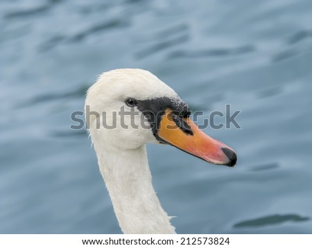 Portrait of a female white swan swimming  - stock photo