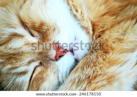 Portrait of a fluffy thoroughbred red cat