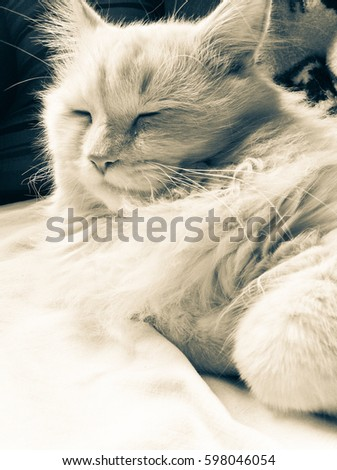 Portrait of a fluffy white cat sleeping