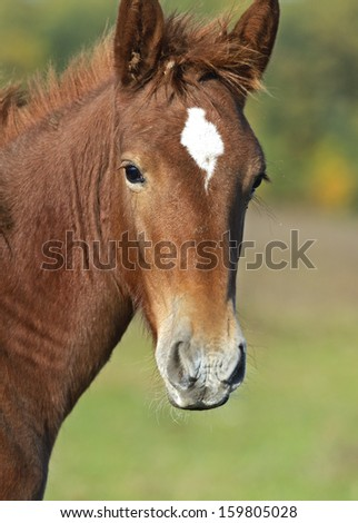 Portrait of a foal in nature