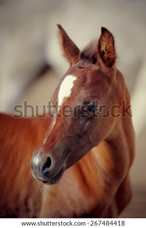 Portrait of a foal with an asterisk on a forehead.  - stock photo