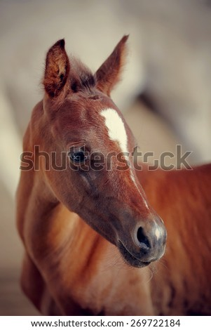 Portrait of a foal with an asterisk on a forehead. Portrait of a foal of a sports horse. - stock photo