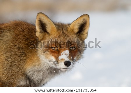 Portrait of a fox in the snow. Close up of a fox with snow on his nose, with a white (snow) background. High resolution picture! - stock photo