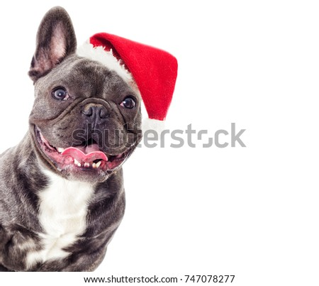 Portrait of a French bulldog dog in the New Year and Christmas hat