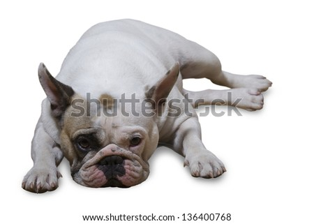 Portrait of a french bulldog solated on white background - stock photo