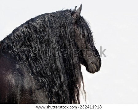 Portrait of a friesian horse (stallion) on a white background - stock photo