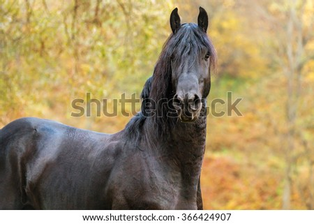 Portrait of a Frisian horse in autumn landscape.