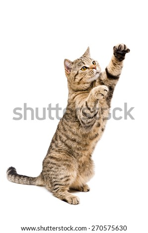 Portrait of a frisky playful cat Scottish Straight standing on his hind legs isolated on a white background - stock photo