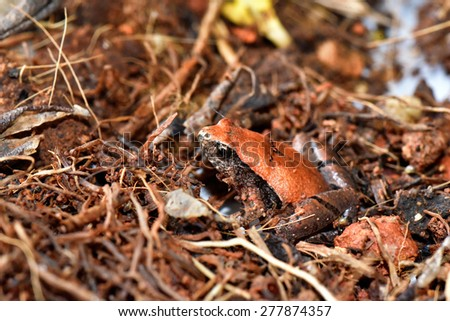 Portrait of a frog. Closeup of a small frog in its natural environment - tropical rain forest. Example of Camouflage.