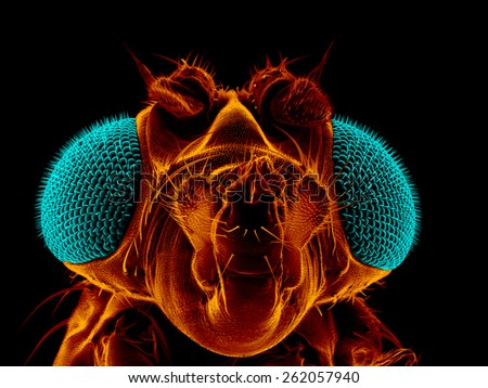 Portrait of a fruit fly, Drosophila melanogaster, scanning electron microscopy - stock photo