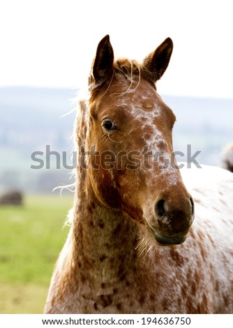 portrait of a fun appaloosa horse