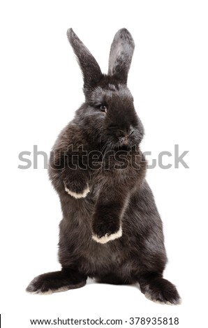 Portrait of a funny black rabbit standing on his hind legs isolated on a white background - stock photo