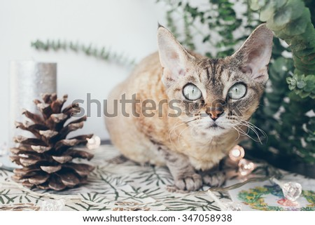 Portrait of a funny devon rex cat in a Christmas interior