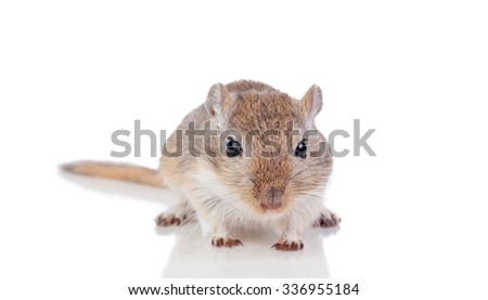 Portrait of a funny gergil isolated on a white background - stock photo