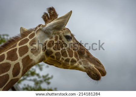 Portrait of a funny giraffe (Giraffa camelopardalis) against blue sky and trees background - stock photo