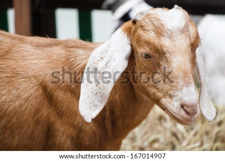 Portrait of a funny goat in the fence