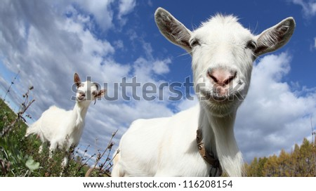 Portrait of a funny goat looking to a camera over blue sky background - stock photo