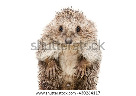 Portrait of a funny hedgehog standing on his hind legs isolated on a white background
