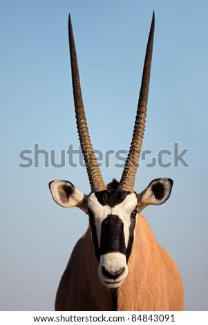 Portrait of a Gemsbok antelope (Oryx gazella) against a blue sky, Kalahari desert, South Africa - stock photo