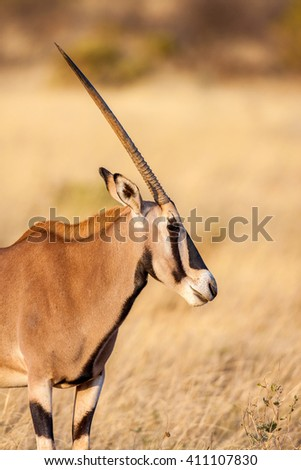 Portrait of a gemsbok antelope (Oryx gazella) in desert, Africa