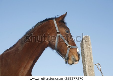 Portrait of a  gentle stallion horse in winter paddock under blue sky as a background - stock photo