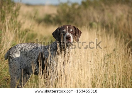 Portrait of a German Shorthaired Pointer walking in the grass - stock photo