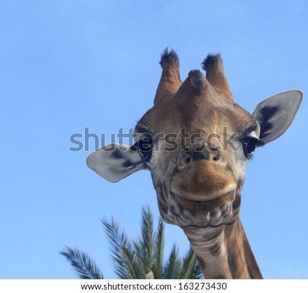 Portrait of a giraffe against a blue sky  - stock photo