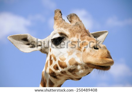 Portrait of a giraffe against blue sky; Giraffe Camelopardalis - stock photo