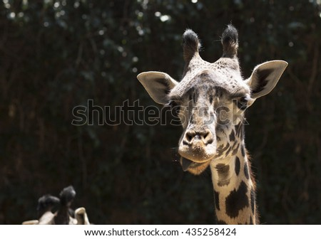 Portrait of a giraffe close up. Face wild giraffe chewing of some plants.  - stock photo