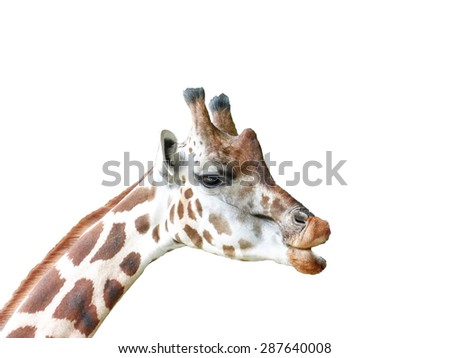 Portrait of a giraffe (Giraffa camelopardalis) with open mouth isolated on a white background