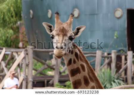 Portrait of a giraffe in an animal park looking straight ahead, towards the lens