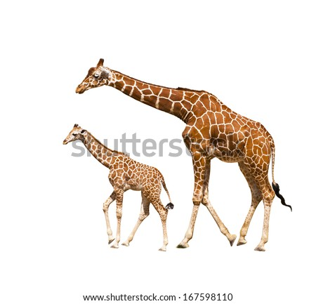 Portrait of a giraffe isolated on white background  - stock photo